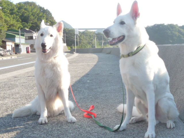ホワイトスイスシェパード★アブー★&★レオン★