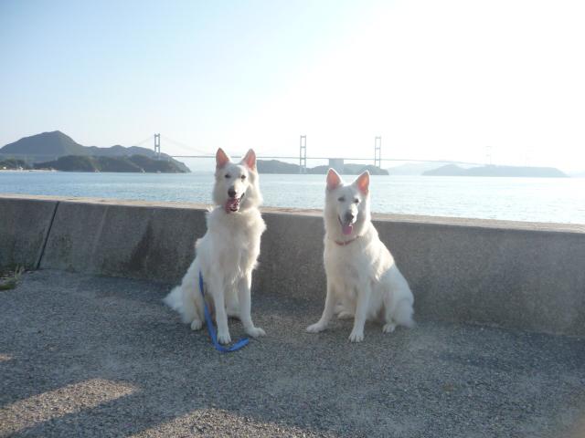 ホワイトスイスシェパード★エース★&★リサ★来島大橋