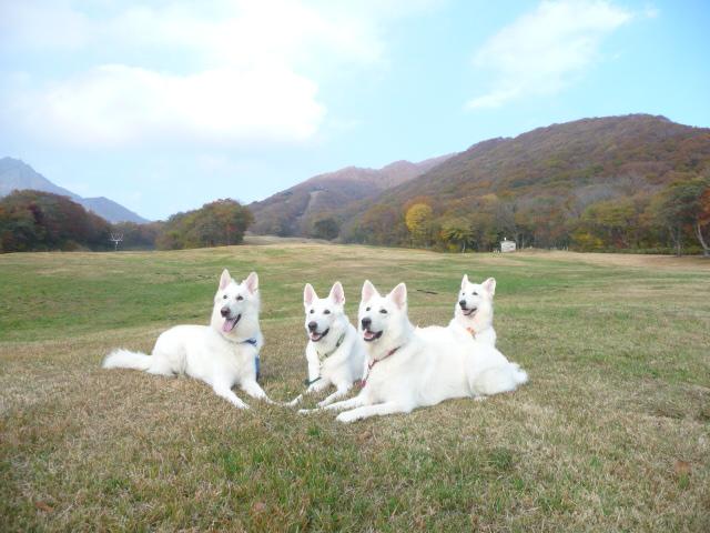 ホワイトスイスシェパード我が家の4匹