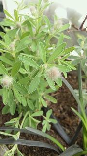 2013秋の寄せ植えのもけもけ1