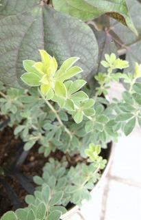 2013秋の寄せ植えのもけもけ2