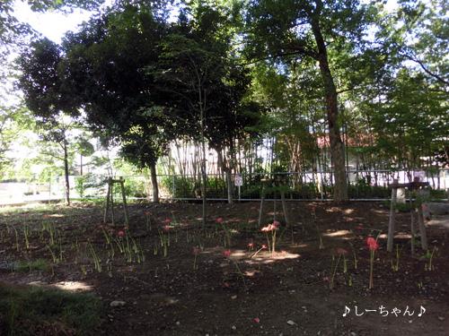 曼珠沙華・2013_02