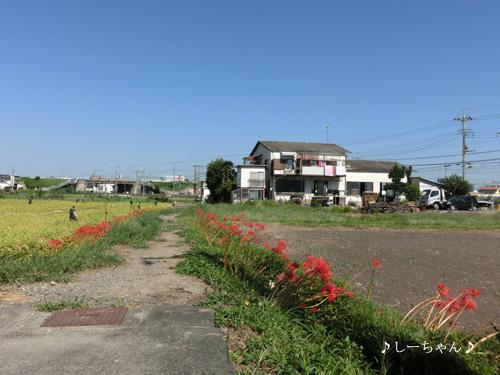 曼珠沙華の道・2013_01