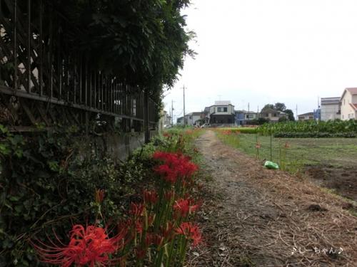 曼珠沙華の道・2014_02