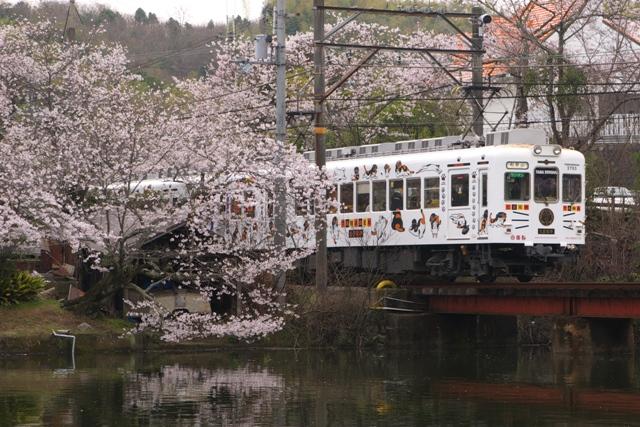 130331-wakaden-tama-sakura-shoumen-sakura-1.jpg