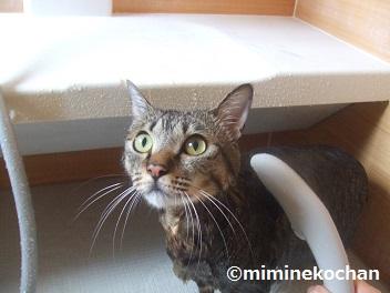 キジトラ猫 ミミ お風呂でシャワー
