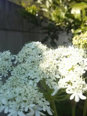 ウドナの花