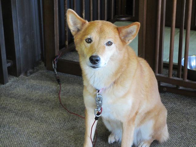 看板犬 あずきちゃん