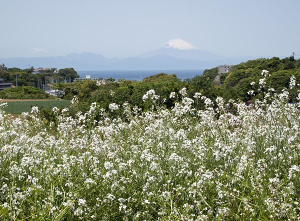 ルッコラと富士山