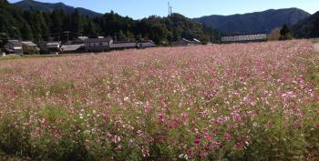 コスモス畑in谷汲
