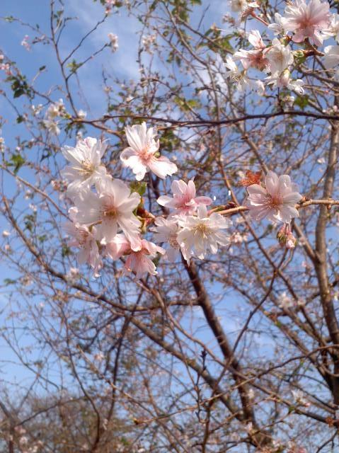 10月の桜2