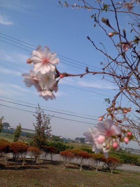 10月の桜1