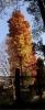 井の頭公園紅葉6