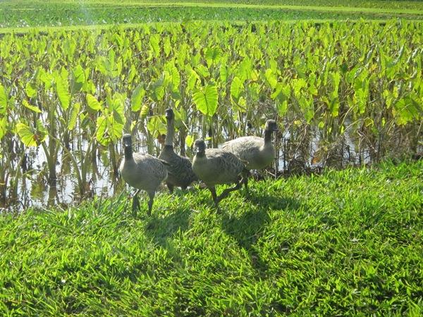 ネネハワイの州鳥ネネとハワイの人々の貴重な食料タロイモの畑です。タロイモは東南アジアの原産で里芋の仲間です、ポリネシアや南太平洋の島々で広く栽培され、現在  ...
