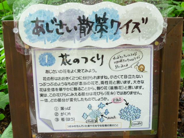 ヒメアジサイ (3)