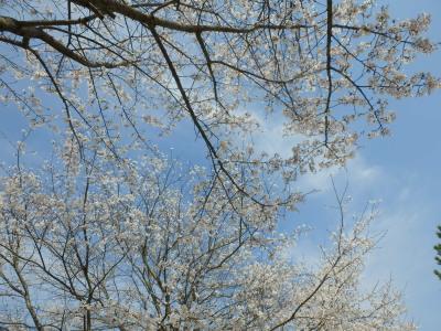 満開の桜A
