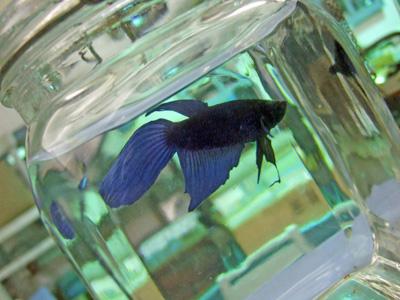 青紫金魚1