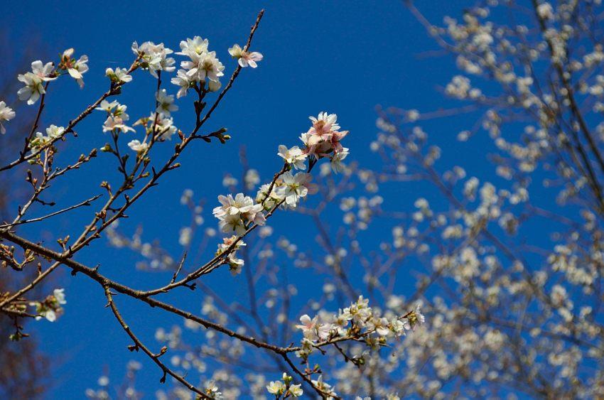 _DSC_2196四季桜