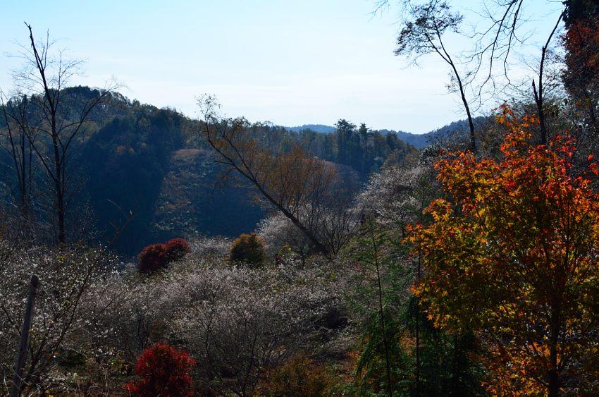 _DSC_2180四季桜