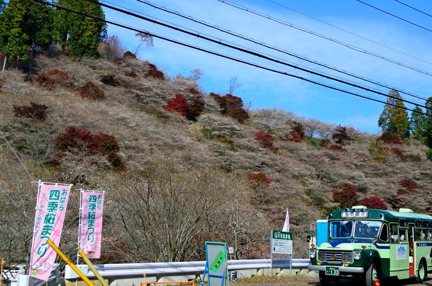 _DSC_2360四季桜