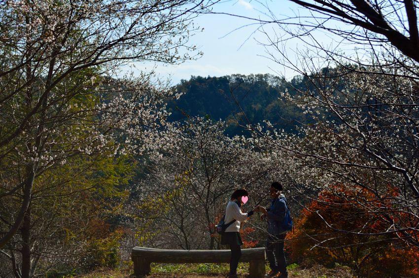 _DSC_2182四季桜