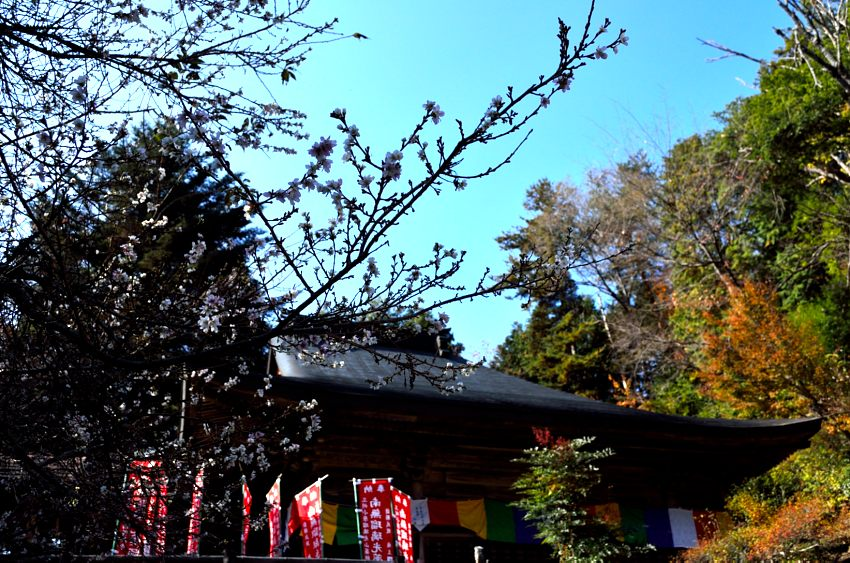 _DSC_2276四季桜