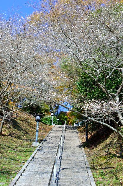 _DSC_2231四季桜