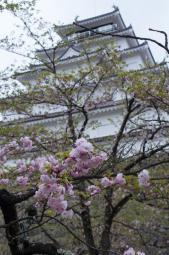 これぞ八重の桜