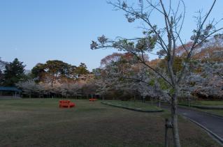 福浦島のオオシマザクラ