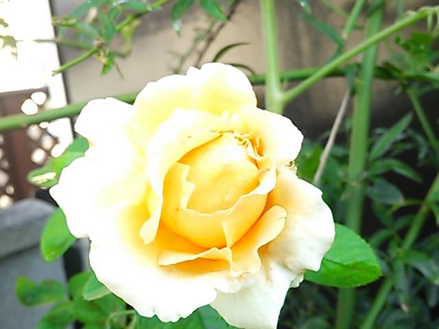 2013 8 7 rose
