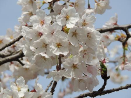 N2026桜