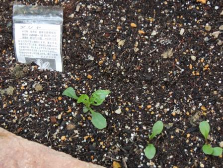 N2494ダリアの芽