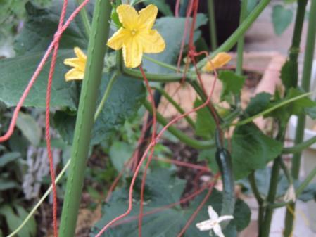 N2557きゅうりの花