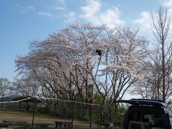 0403桜