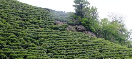 六安瓜片茶園2
