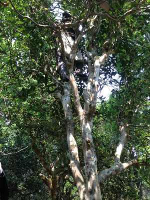 プーアル古樹