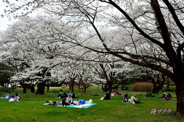 昭和記念公園の桜1(8)変更済