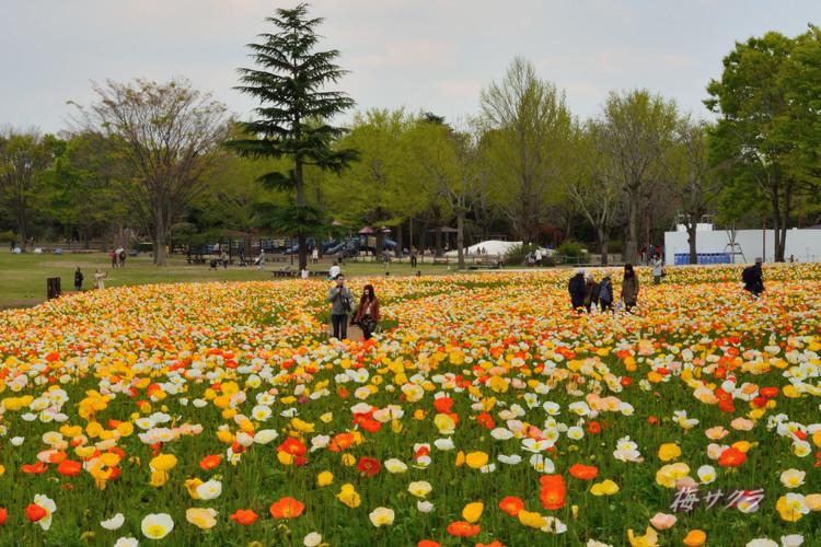 昭和記念公園2(アイスランドポピー7)変更済