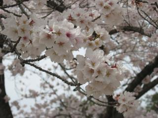 sakurakoriyama5