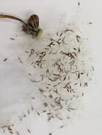 miniタンポポ綿毛