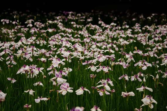 久留米中央公園の花菖蒲5