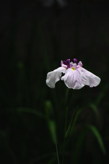 久留米中央公園の花菖蒲6