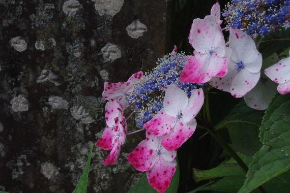 散り際の美・千光寺の紫陽花 1