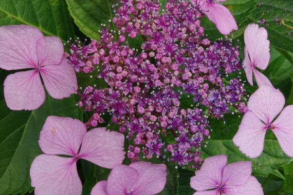 散り際の美・千光寺の紫陽花 3