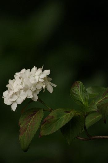 散り際の美・千光寺の紫陽花 4