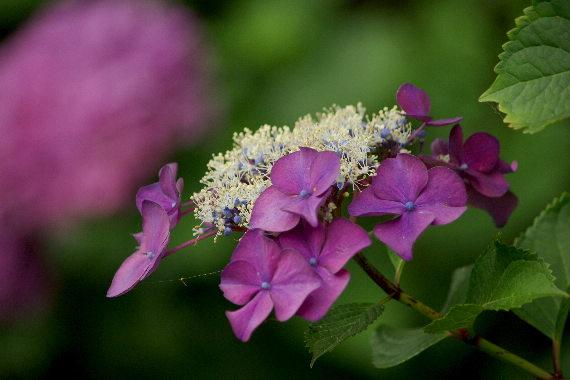 散り際の美・千光寺の紫陽花 5