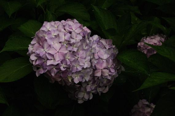 散り際の美・千光寺の紫陽花 6