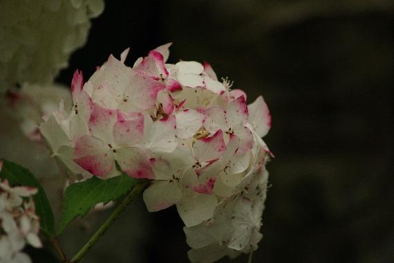 散り際の美・千光寺の紫陽花 7