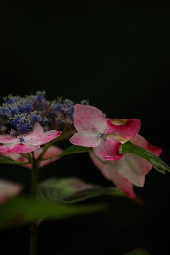 散り際の美・千光寺の紫陽花 8