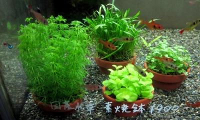 素焼き水草